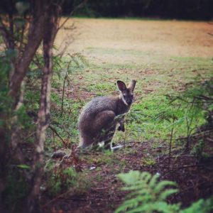 wallaby@hobartbeach